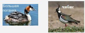 Птицы, обитающие в акватории Ижевского пруда - большая поганка или чомга, чибис.