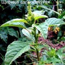 Щирица запрокинутая полезные свойства. Съедобные дикорастущие растения Урала.