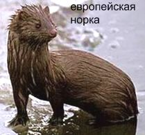Европейская Норка. Красная книга Удмуртии.