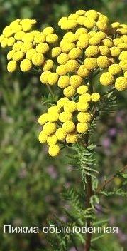 Пижма обыкновенная свойства, список ядовитых растений с фото.