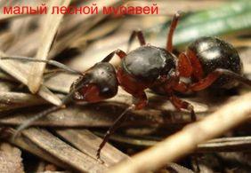 Малый лесной муравей. Муравьи Удмуртии