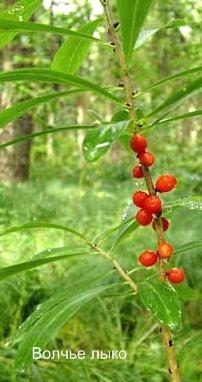 Растение Волчье лыко. Названия ядовитых растений.
