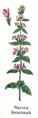 Чистец болотный. Съедобные растения Удмуртии.