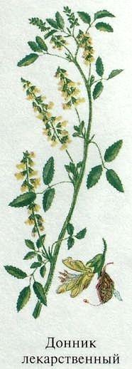 Растение Донник лекарственный (трава донник желтый). Ядовитые растения леса.