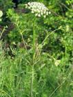 Болиголов крапчатый( болиголов пятнистый). Ядовитые растения Удмуртии.