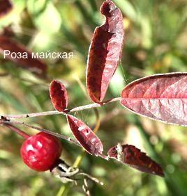 Роза майская. Съедобные деревья, кустарники Удмуртии.