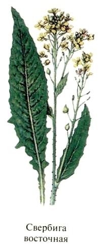 Свербига восточная (редька дикая). Съедобные растения Удмуртии.