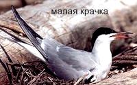 Малая Крачка. Красная книга Удмуртии.