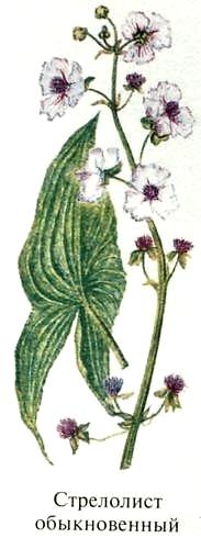 Стрелолист обыкновенный. Съедобные растения Удмуртии.