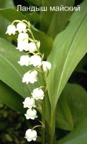 Растение Ландыш майский. Ядовитые растения леса фото и названия.