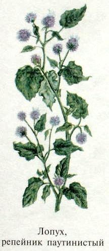 Лопух, репейник. Съедобные растения Удмуртии.