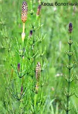 Хвощ болотный фото, список ядовитых растений с фото.