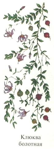 Клюква болотная описание. Съедобные деревья, кустарники Удмуртии.