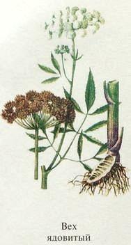 Вех ядовитый растение. Названия ядовитых растений.
