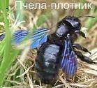 Пчела-плотник. Красная книга Удмуртии.