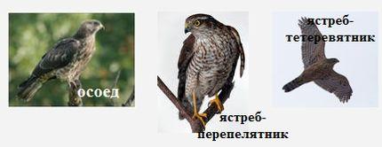 Дневные хищные птицы Удмуртии (ястребиные) - осоед, ястреб-тетеревятник, ястреб-перепелятник.
