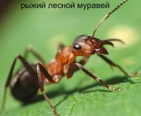 Рыжий лесной муравей. Муравьи Удмуртии.