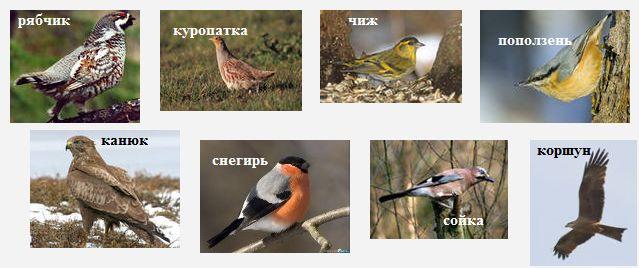 Постоянно зимуют в лесу Удмуртии рябчики, куропатки, чижи, поползни, канюки, снегири, сойки, коршуны.