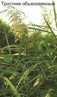Тростник обыкновенный. Съедобные дикорастущие растения Урала