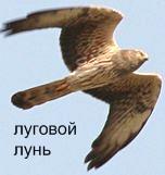 Луговой Лунь. Красная книга Удмуртии.