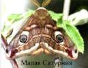 Малая Сатурния. Бабочки Удмуртии.