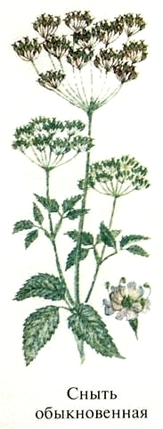 Сныть обыкновенная. Съедобные растения Удмуртии.