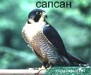 Дневные хищные птицы Удмуртии (соколиных) - сапсан.