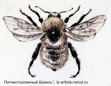 Пятнистоспинный Шмель. Красная книга Удмуртии.