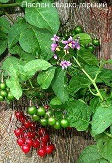 Паслен сладко-горький ядовитый, ядовитые растения Урала.