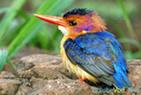 Зимородок - самая красивая птица Удмуртии.