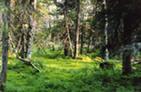 Травяные ельники. Леса Удмуртии.