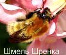 Шмель Шренка. Красная книга Удмуртии.