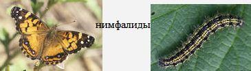 Нимфалиды. Бабочки Удмуртии.