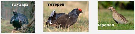 Промысловые птицы Удмуртии (куриные птицы) - тетерева, глухари, перепел.