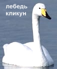 Лебедь-Кликун. Красная книга Удмуртии.