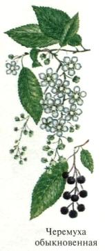 Черемуха обыкновенная. Съедобные деревья, кустарники Удмуртии.