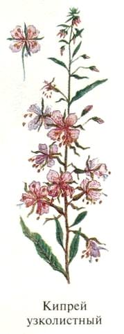 Кипрей узколистный, или иван-чай, или копорский чай. Блюда из растений Удмуртии.