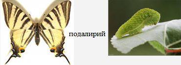 Подалирий. Бабочки Удмуртии.