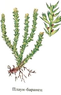 Трава Баранец (плаун-баранец). Ядовитые растения Удмуртии.