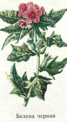 Растение Белена черная. Ядовитые растения Удмуртии.