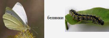 Белянки. Бабочки Удмуртии.