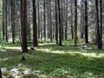 Ельники-черничники. Леса Удмуртии.