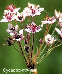 Сусак зонтичный. Съедобные растения Удмуртии.