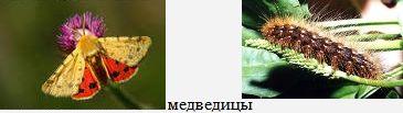 Медведицы. Бабочки Удмуртии.
