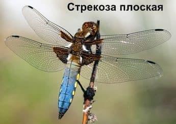 Стрекоза Плоская. Насекомые Удмуртии.