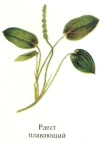 Рдест плавающий. Съедобные растения Удмуртии.