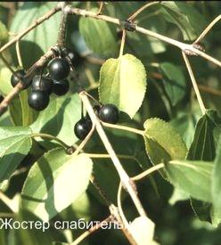 Жостер слабительная фото. Крушина.  Ядовитые растения леса фото и названия.