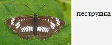 Пеструшка. Бабочки Удмуртии.