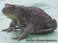 Жаба обыкновенная. Ядовитые животные Удмуртии.