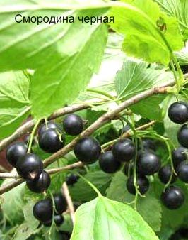 Смородина черная. Съедобные деревья, кустарники Удмуртии.